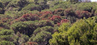 Vilassar de Dalt. Els pins malalts que es veuen en clapes de color marro sobretot al Baix Maresme