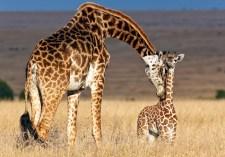 giraffe-mom-baby-1